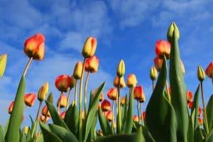Le printemps est là : pensez aux tulipes